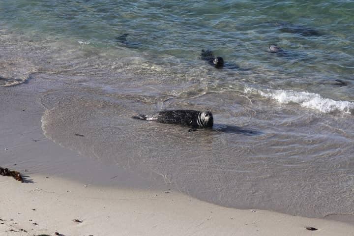 Seals in La Jolla San Diego
